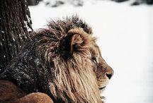 Lions / by Sanne Honig