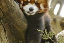 red panda / by Nancy Risely