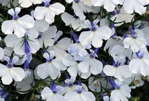 Cool Plant Varieties / New, odd, interesting plants I just might be lusting after... / by Halleck Horticultural