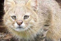 Pampas cat / Cat