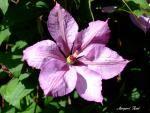 garden & plamenek (clematis)