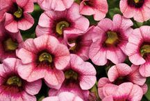 'Super' Plants / We are known for our 'Super' plant varieties--our Supertunia petunias, Superbena verbenas and Superbells calibrachoas have been delighting gardeners for years. Here's our latest and greatest 'super' annuals.  / by Proven Winners Plants