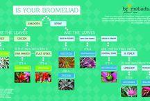 Bromeliad ID chart