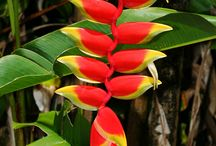 Tropical Heliconias