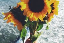 sunfloweres