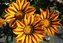 GAZANIA / Varieties & Colours