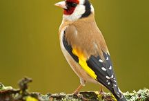 karderines-european goldfinches