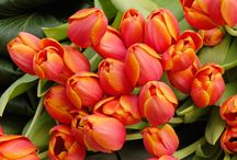 Tulip Flowers / Gorgeous tulips are perfect for any special event.