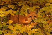 volpe-fox