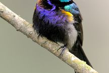 păsărele