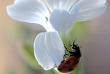 Ladybugs / Under the Tuscan Sun