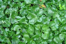 Asarabacca (Asarum europaeum) / All things related to the medicinal herb Asarabacca (Asarum europaeum).