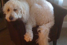 goldendoodles / Puppy  lucy