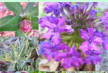 Gardening with Herbs / Growing, harvesting and using herbs from the garden.  Go to http://myhomesteadlife.com/ to read more.
