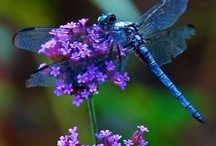 Dragonflies / by Carol Fraile