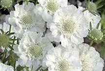 Helder witte bloemen