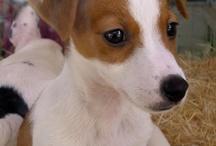 jack russell terrier amoooore