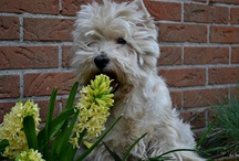 Westies / My all time Favourite Doggie