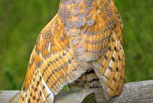 OWLS *~*
