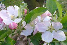 Kedveskéim / My garden, my flowers photographed with home-grown. Kertemben fotózott saját termesztésű virágaim.
