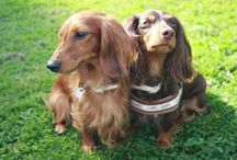 My dachshunds, my loves!