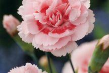 Carnation (garoafe)