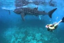 Hannah Mermaid swimming with Whale Sharks