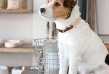 Jack Russel Terrier / Terrier at it`s Best: