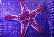 Star Fish / Star Fish Available At Aqua Dreams Aquarium. #starfish