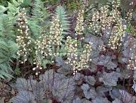 Hortensia Lime Light-bedet / Planter i vores bed