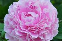 Peony my favorite flower