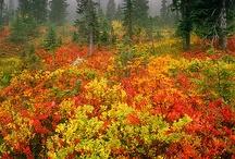 Autumn Fire / The colours of autumn.