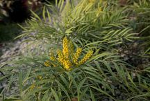 Plant Spotlight: Soft Caress Mahonia / by Southern Living Plant Collection