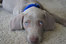 Weimaraners! / Puppies are so darn cute!
