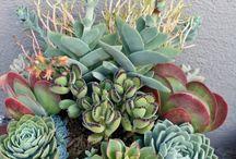 succulente!