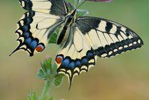 Pillangók, szép állatok