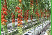 culturi legume