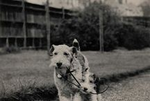 Dexter Wire Fox Terrier