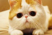 Gatos exóticos