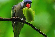 Psittinus / Il genere Psittinus è monospecifico e comprende pertanto un'unica specie di pappagallo di piccola taglia originaria delle foreste indonesiane, suddivisa a sua volta in tre sottospecie. Gli psittinu7s sono pappagallini dalle ali molto lunghe e la coda particolarmente corta. Si trova attualmente in Thailandia, nel Borneo e a Sumatra.   http://www.pappagallinelmondo.it/psittinus.html