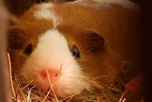 Guineea pigy