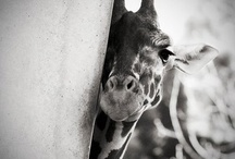 LoVe for Giraffe / by mandy lewis