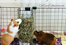 Guinea Pigs! / by Yolanda Hicks
