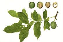 Juglandaceae