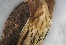 Hawks a Totem Bird