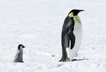 Emperor penguin|:-)