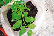 pěstoování