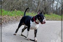 English Bull Terrier / bullterrier / Mawros