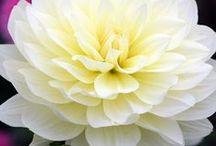 Dahlia flower bloem