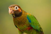 Pionopsitta / Il genere pionopsitta raggruppa sei specie di pappagalli sudamericani di media taglia, di notevole bellezza ed eleganza, soprattutto per la variegata presenza di colorazioni vivaci sul capo e sul collo.   http://www.pappagallinelmondo.it/pionopsitta.html